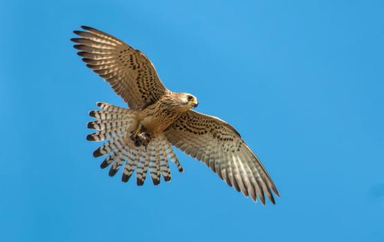 Il falco grillaio