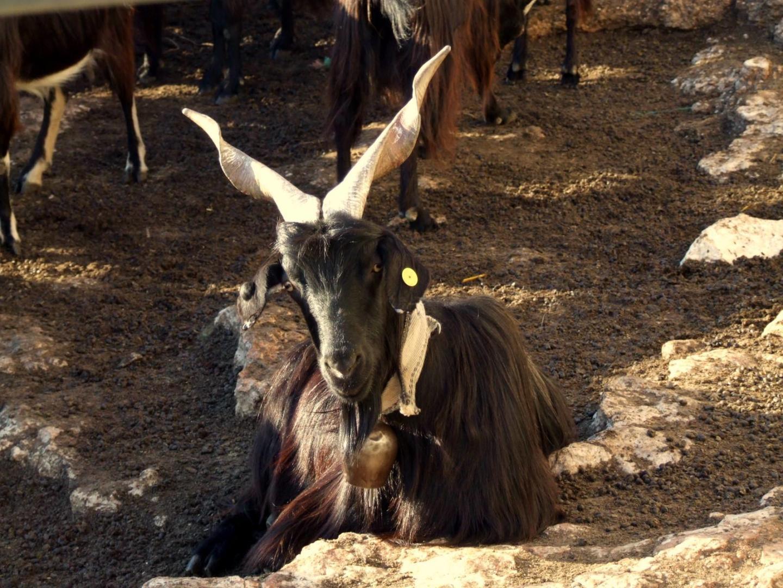La capra garganica