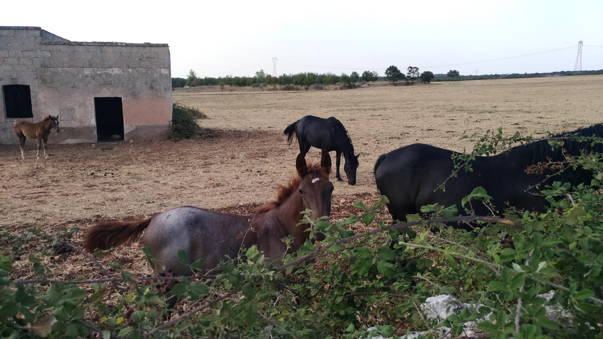 Il cavallo murgese