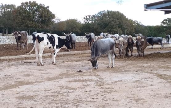 La vacca podolica