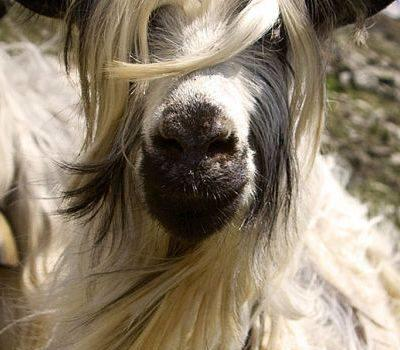 La capra ionica