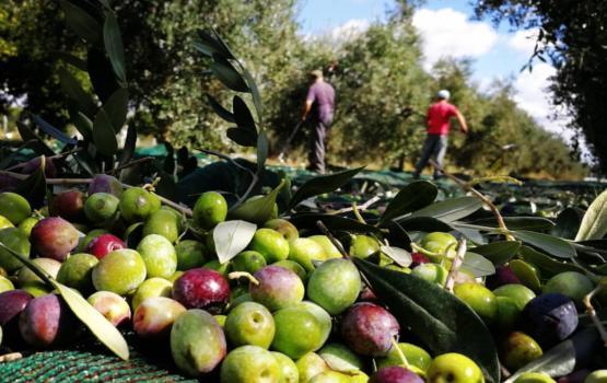 Palagianello: Bici, Olio EVO & Raccolta Olive